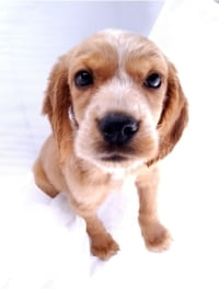 Adaptil Pheromones Remedy Anxious Dog Behaviours